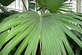 Livistona chinensis 1zz.jpg