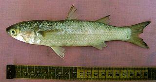 <i>Liza carinata</i> Species of fish