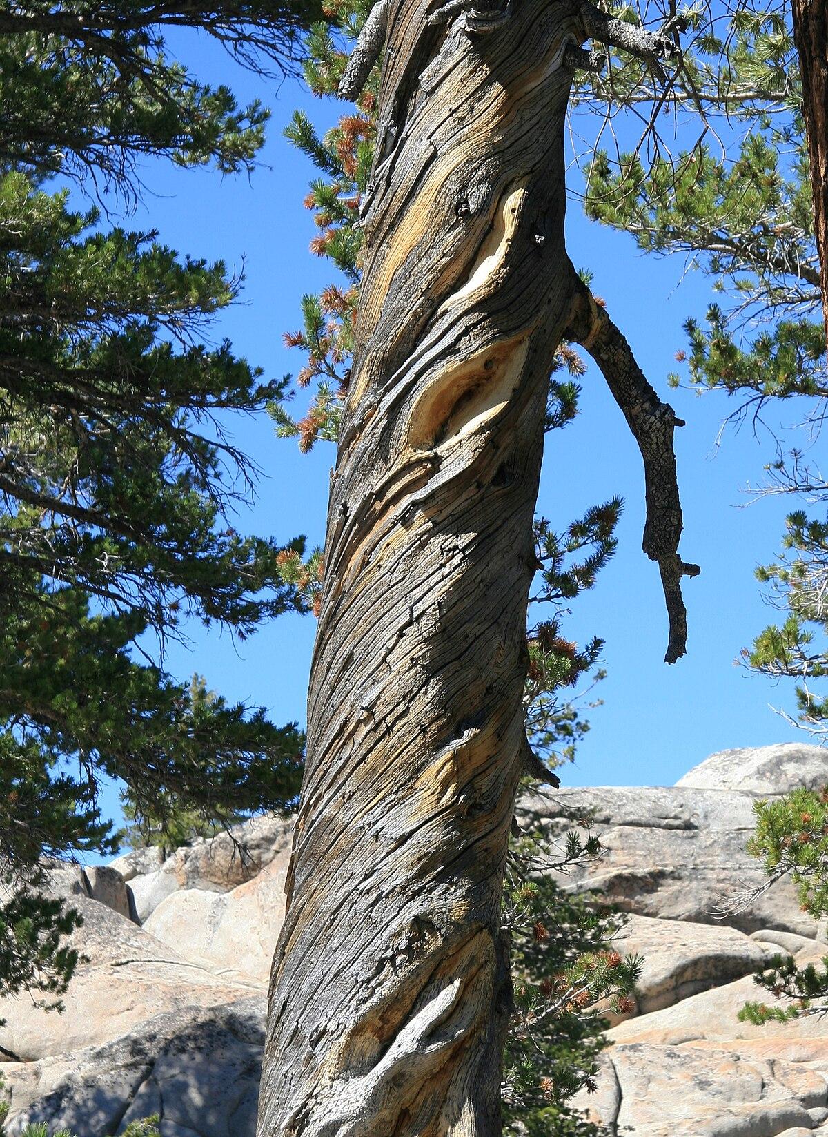 Wood From Trees ~ Wood grain wikipedia