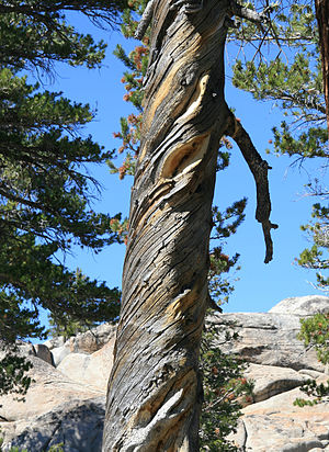 Wood grain - The weathered trunk of a lodgepole pine tree showing an extremely spiral grain