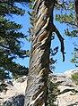 Lodgepole pine spiral grain.jpg