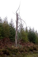 File:Lone dead tree - geograph.org.uk - 270461.jpg