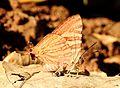 Long-banded Silverline Spindasis lohita UN by Dr. Raju Kasambe DSCN7863 (15).jpg