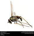 Long-legged fly, Dolichopodidae (24902593065) (2).jpg