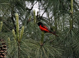 Long-tailed Minivet (Male) I IMG 7332.jpg