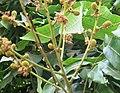Longan (Dimocarpus longan) baby fruits and leaves.jpg
