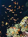 Lots of Anthias - sea goldies - at Daedalus Reef, Red Sea, Egypt.jpeg