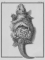 Loutre, Ventre ouvert - Otter, opened Belly - Gallica - ark 12148-btv1b2300254t-f14.png