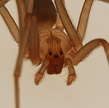 Brown Recluse Spider Wikipedia