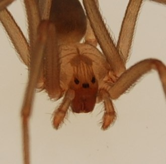 Brown recluse spider - The brown recluse has three pairs of eyes, unlike most spiders.