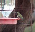 Lucifer Hummingbird (male).jpg