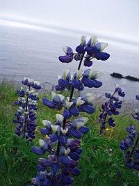 Lupinus nootkatensis - Iceland 20070706b