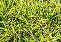 Luzula pilosa in Jardin des 5 sens.jpg