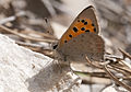 Lycaena phlaeas - Common Copper.jpg