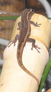 Matschies dwarf gecko