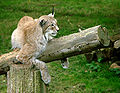 Lynx de Sibérie Thoiry 1983 B.jpg