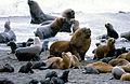 Mähnenrobben (auch Südamerikanischer Seelöwe - Otaria flavescens) (Peninsula de Valdes, Jan 1984).jpg