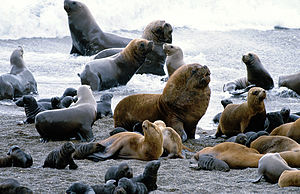 South American sea lion - Sea lion colony in Patagonia
