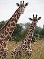 Maasai Giraffes - Mikumi National Park - Tanzania - 03 (8893150526).jpg