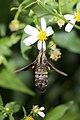 Macroglossum heliophila heliophila (26170943669).jpg
