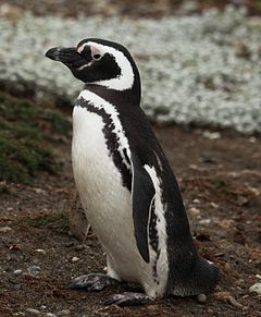 Magellanic Penguin at Otway Sound, Chile (5521248918).jpg