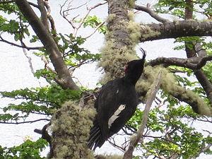 Magellanic woodpecker - Magellanic woodpecker female