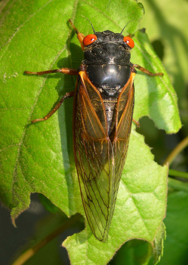 Magicicada septendecula male (Brood IX) - journal.pone.0000892.g003C