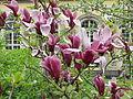 Magnolia liliiflora2.jpg