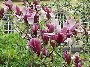 Magnolia liliiflora - Part of a Mulan tree in flower