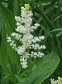 Maianthemum racemosum RF.jpg