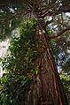 Mammutbaum2.jpg