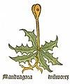 Mandragora Herbarius.jpg