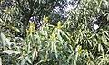 Mango-Flowering1.jpg