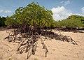 Mangrove bali.jpg