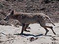 Mangy coyote Año Nuevo State Park.jpg