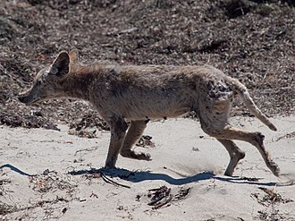 California valley coyote (C. l. ochropus) suffering from sarcoptic mange Mangy coyote Ano Nuevo State Park.jpg