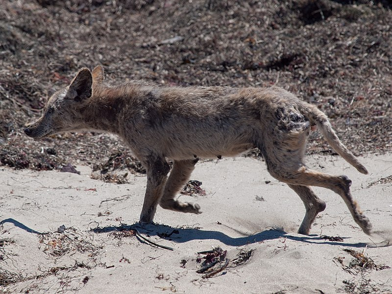 Mangy coyote A%C3%B1o Nuevo State Park.jpg
