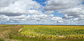 Manitoba Sunflower Fields (8032888883).jpg