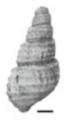 Margarya elongata shell 2.png