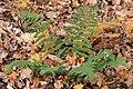 Marginal Wood Fern (Dryopteris marginalis) - Gatineau Park.jpg