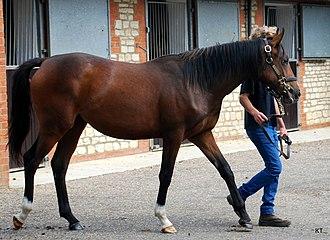 Marju - Image: Marju horse