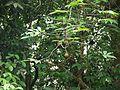 Marootti (Malayalam- മരോട്ടി) (5661503203).jpg