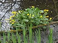 Marsh Marigolds, near Greenham - geograph.org.uk - 1267238.jpg