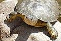 Marsh Terrapin (Pelomedusa subrufa) (45316051955).jpg