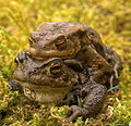 Mating Toads - geograph.org.uk - 771139.jpg