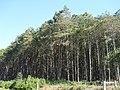 Mato de Pinus - panoramio.jpg