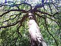 Maytenus acuminata tree South Africa 4.jpg