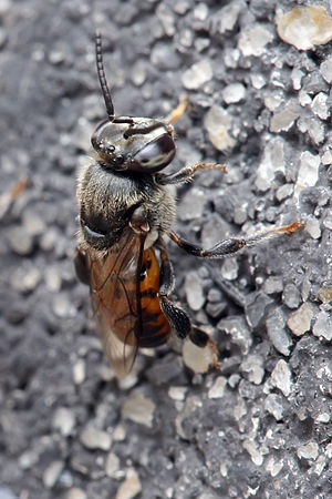 Stingless bee - Meliponula ferruginea
