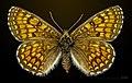 Melitaea parthenoides MHNT CUT 2013 3 29 Flottes female dorsal.jpg