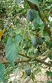 Melothria scabra, the Mouse Melon (9421284348).jpg